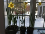 Forced daffodils inside, 4 feet of snow outside.