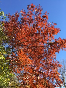 It's been a few days for this tree to turn from yellowy-orange to red? Or is that from saffron to cerise?